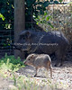 Here's a little Chacoan Peccary pup near its Mom.