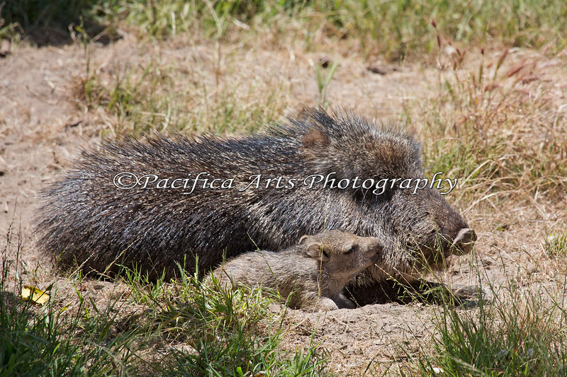 A Kiss for Mom. (Chacoan Peccary)