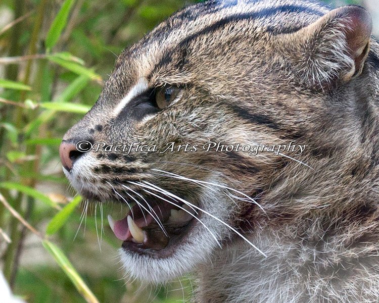 Close-up of a female Fishing Cat