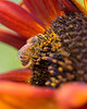 A close-up of a Honeybee on one of the Sunflowers at Conservation Corner.  He was covered in pollen!
