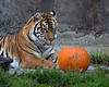 """Now let's see....how shall I carve this?""  (Leanne, a Sumatran Tiger)"