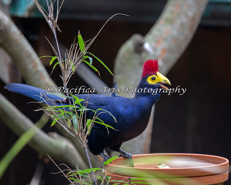 Lady Ross's Turaco in the African Aviary