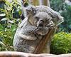 Female Koala, ZZZZZZzzzzzzakary