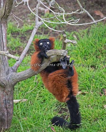 This Red Ruffed Lemur was enthusiastically marking the branch and lost his balance!  Whoops!