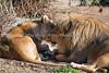 African Lions, Amanzi and Jahari, cheek to cheek.