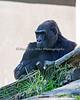 Western Lowland Gorilla, Bawang
