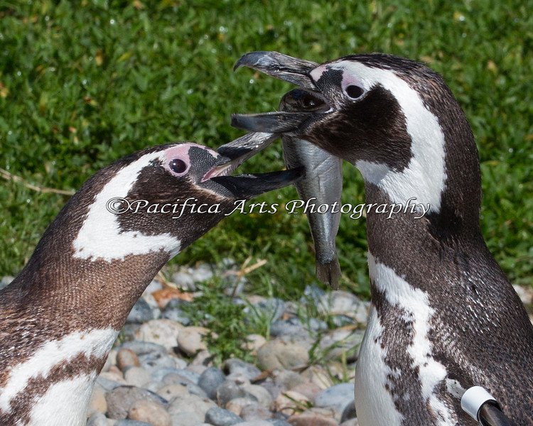 Magellanic Penguins attempting to share a fish.