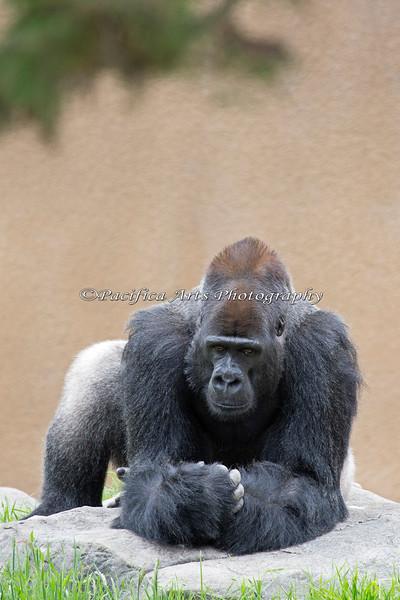 Gorilla, Oscar Jonesy, has found a new pose on the rock.