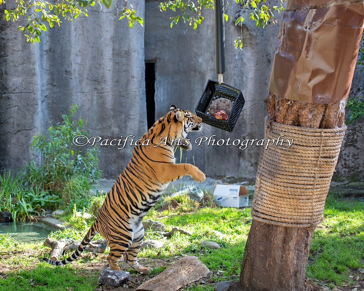 Leanne has discovered a tasty treat hanging from the tree. (Sumatran Tiger)