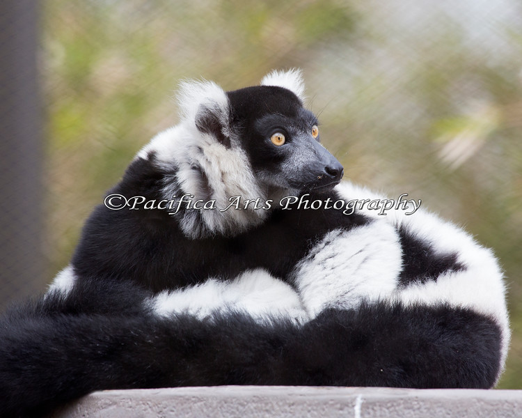 Black & White Ruffed Lemur - so soft and fuzzy!