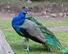 A perfect posing Peacock!