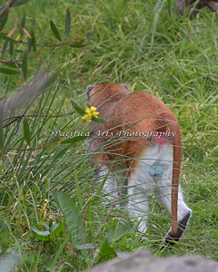 Colorful Patas Monkey - male