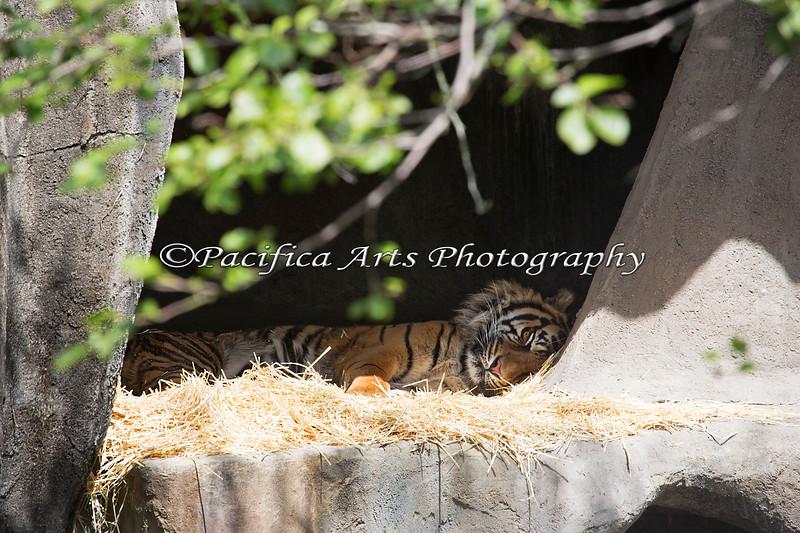 """""""It's tough work being a Dad.""""  (Sumatran Tiger, Larry)"""