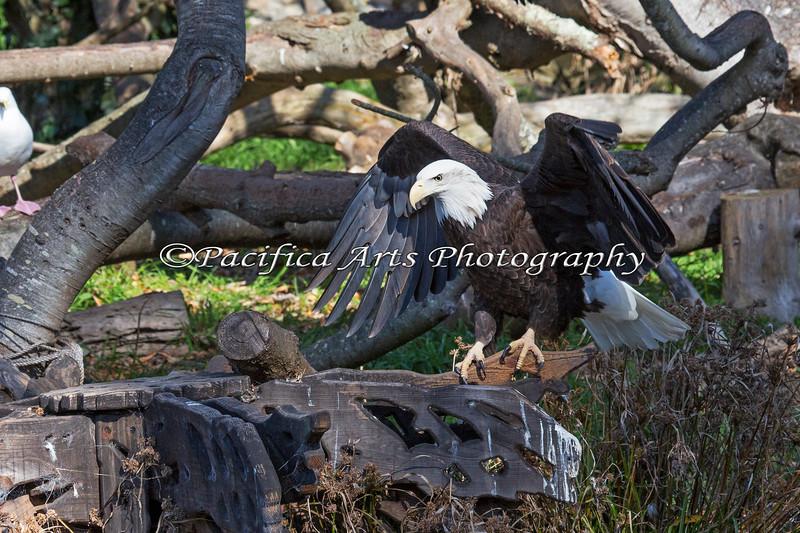One of the Bald Eagles on Eagle Island.