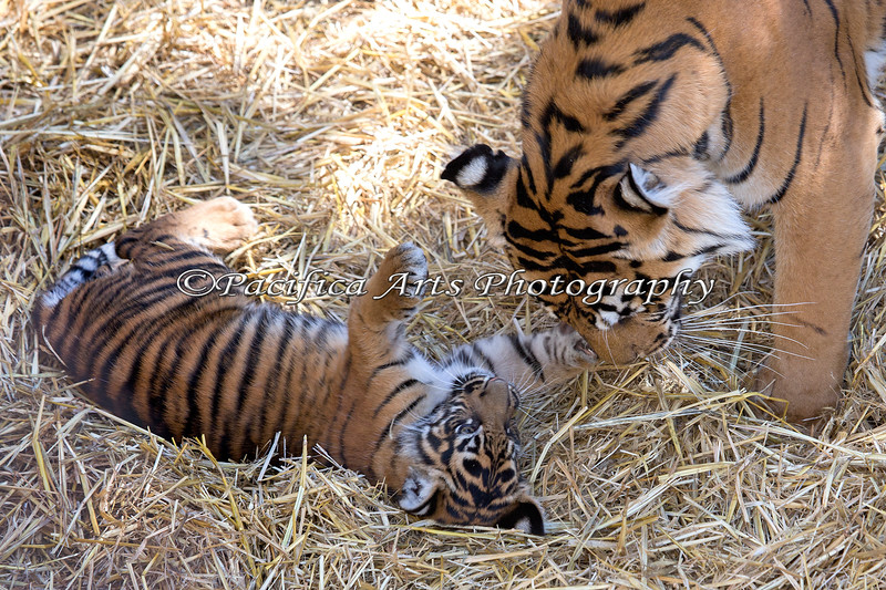 Jillian inviting her Mom, Leanne, to play.  (Sumatran Tiger)