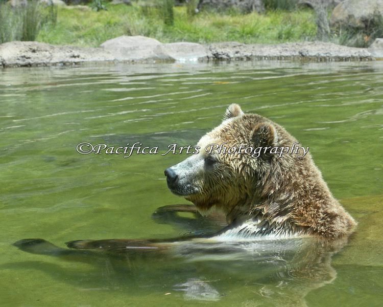Grizzly Bear, Kachina, relaxing in her pool.