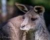 Gray Kangaroo