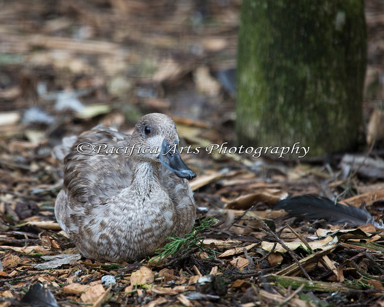 A young Marbled Teal (pink leg band)