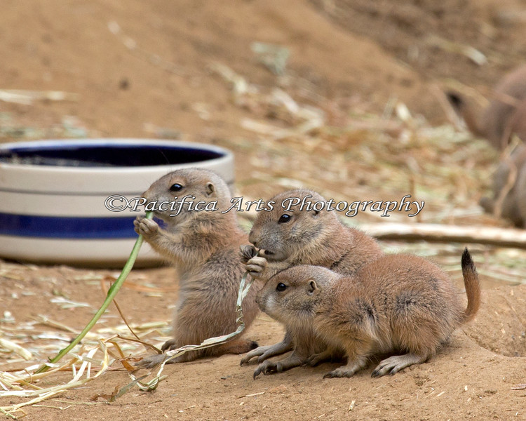 Three little pups. (Black-tailed Prairie Dog)