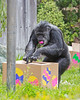 Cobby, the Chimpanzee, looks very experienced at opening treat boxes!  The Keeper did a lot of preparation creating paper eggs and painting boxes.  She baked goodies, and hid a variety of treats inside them, for the Chimps to find during the Big Bunny's Spring Fling event at the San Francisco Zoo.