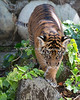 Sumatran Tiger Cub, Jillian, goes exploring.