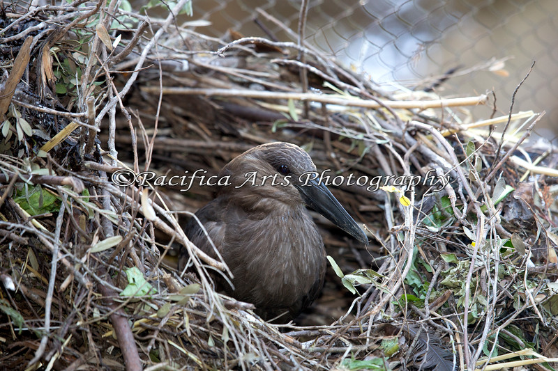Hamerkop, building a nest, one twig at a time.