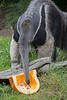 Giant Anteater, Zakary, appears to prefer the assortment of crickets to the pumpkin.