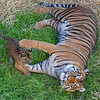 Sumatran Tiger, Leanne, playing in the grass with her little Jillian.