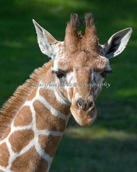 Erin, a 4 month old Reticulated Giraffe