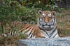 A very willing photographic subject!  This is our new male Siberian/Amur Tiger.