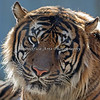 "A rare close-up of Jillian's father, ""Larry"".  (Sumatran  Tiger)"