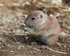 A springtime Black-tailed Prairie Dog pup.