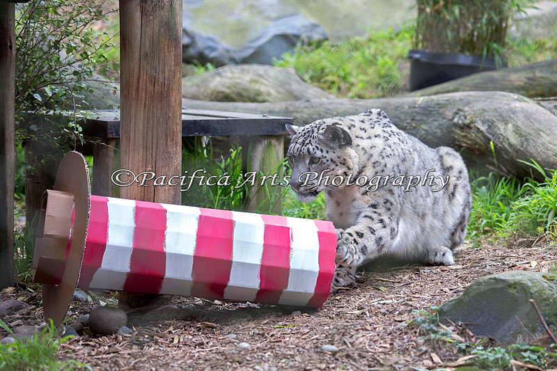 """Kellie (Niya) tries to figure out how to get the treat out of the """"Cat in the Hat"""" box. (Snow Leopard)"""