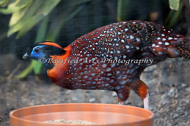 Here's a new bird for the SFZoo - a Temminck's Tragopan!