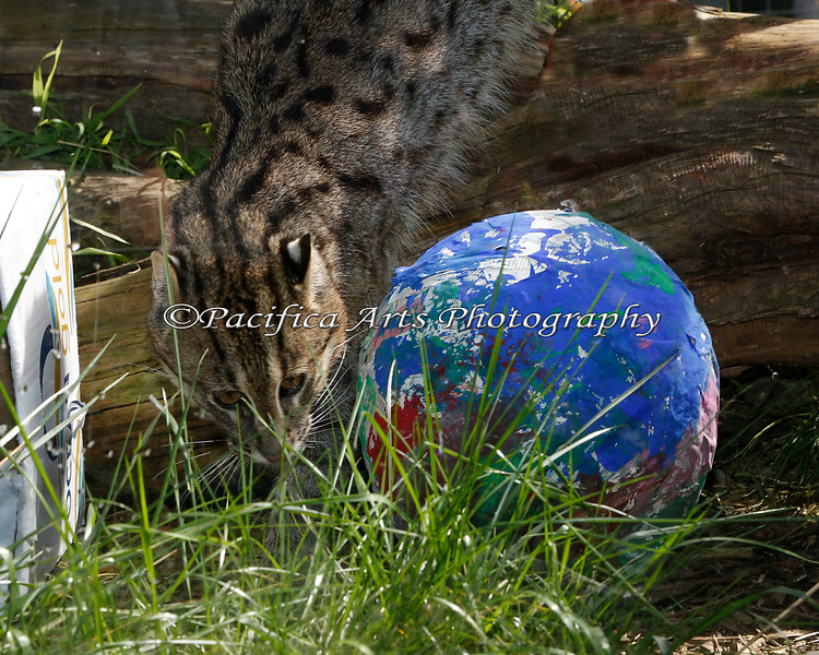 Fishing Cat investigating an Easter egg in his exhibit, for the Big Bunny's Spring Fling event. (The Keepers hid fish inside)