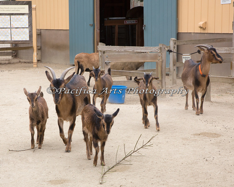 The 4 New Kids on the Block, along with their Moms, Rita and Rosa. (San Clemente Island Goats)