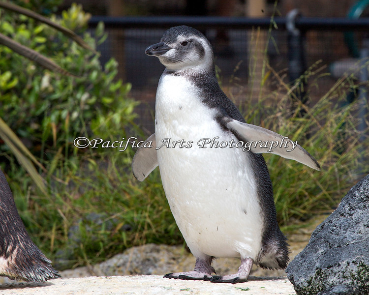 One of the Juvenile Magellanic Penguins, born earlier this year.