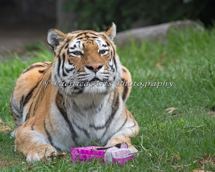 Siberian Tiger, Martha