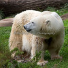 Polar Bear, Uulu