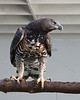 African Crowned Eagle (male)