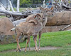 "Greater Kudu - Mom ""Portia"" & her fast growing baby, ""Jamie""."