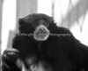 Stormy, a male Siamang  (in B&W)