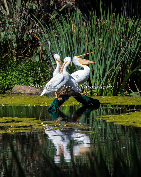 American White Pelicans sitting on a branch in the Billabong