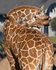Erin, a young Reticulated Giraffe has good reach with that long tongue!