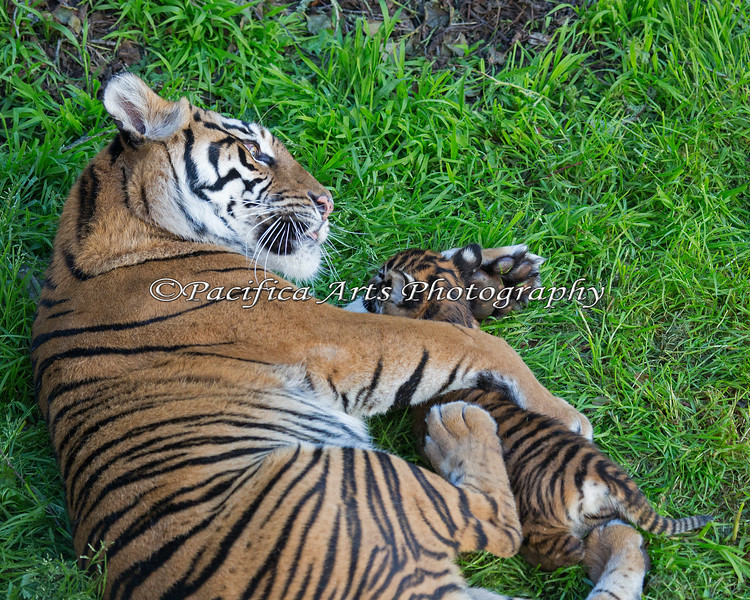 How do you hold a wiggly cub?  Like this!  (Sumatran Tigers)