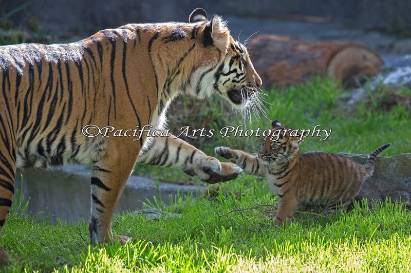 Leanne & her little club, Jillian batting paws.  (Sumatran Tiger)