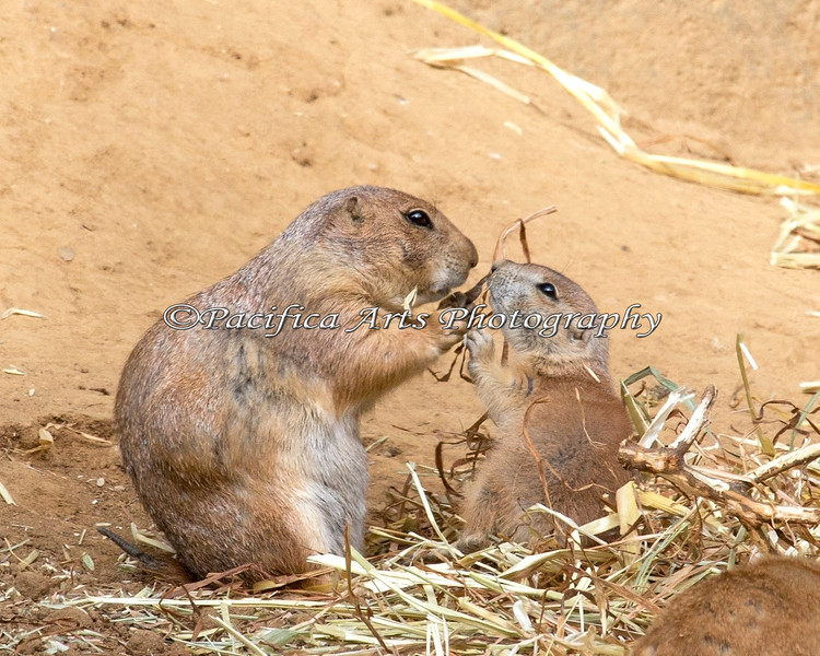 Mom and baby Black-tailed Prairie Dogs share a snack.