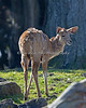 New Baby Greater Kudu (SFZoo)