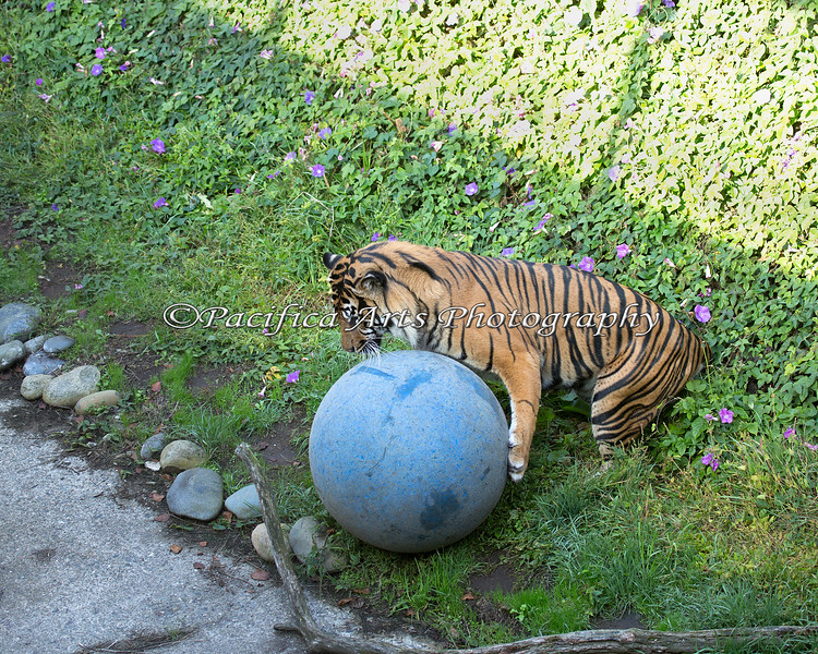 Larry, a male Sumatran Tiger, playing with his giant ball.  (Larry is the father of tiger cub, Jillian)