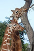 A pair of Reticulated Giraffes (Kristin & Floyd)